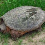 Common_Snapping_Turtle.jpg
