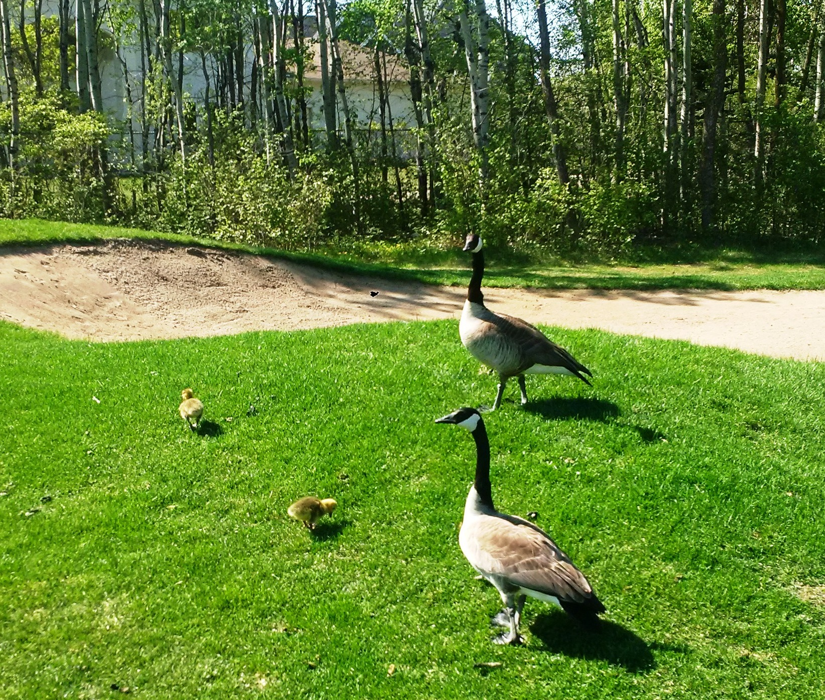 Young Geese