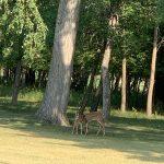 Serenas-Deer-24-July.jpg